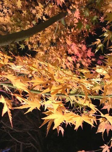 播州清水寺境内の黄色に色づくモミジ